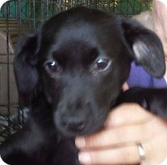 Ringoes, NJ - Labrador Retriever/Border Collie Mix. Meet Audra, a puppy for adoption. http://www.adoptapet.com/pet/12060771-ringoes-new-jersey-labrador-retriever-mix