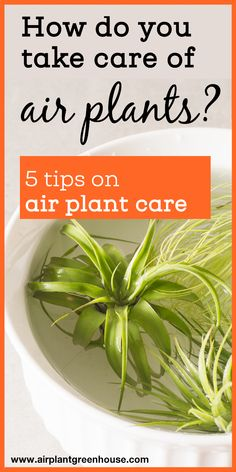 Air plants are fun and easy to grow. Learn how to take care of your air plant in this comprehensive air plant care guide. Soak your air plants once a week in water for 30 minutes. Mist your air plant 2-3 times a week... Bamboo Plants, Orchid Plants, Foliage Plants, Water Plants, Orchids, Types Of Air Plants, Air Plants Care, Herb Drying Racks, Drying Herbs