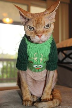 sweater cat