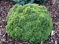 FOXHOLLOW GARDEN - and some colourful conifer gems : Grows on You
