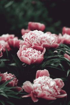 pink flowers.THESE ARE PEONIES,  POSSIBLY THE SARAH BERNHARDT BUT THEY ARE DARKER ROSE THAN MINE.