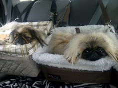17 Things All Pekingese Owners Must Never Forget Yorkies, Pekingese Dogs, Fu Dog, Dog Pee, Shih Tzu Dog, Shih Tzus, Funny Dog Memes, Funny Dogs, Funny Facts