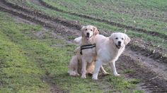 onze Goldens ANDY-JESPER 01-03-15