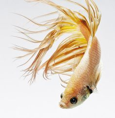 #crowntail #betta #fish