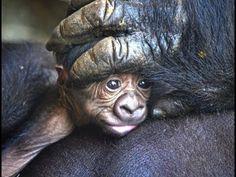 (1) El nuevo bebé gorila nacido en BIOPARC Valencia es un macho y se llama Pepe - YouTube Overcome The World, Valencia, Animals, Youtube, Animales, Animaux, Animal, Animais