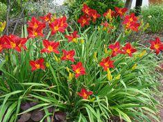 b0d37a84d8e853 Hemerocallis 'Ruby Spider'. Deze daglelie bloeit in juni en wordt 85 cm.