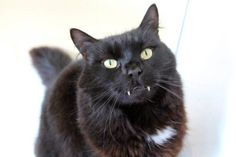 Timmy, the vampire-esque rescue cat, has finally found a new home from Blue Cross