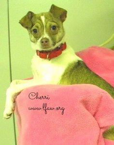 Cherri Breed: Chihuahua  Estimated DOB: 5-25-13 Gender: Female  Cherri is a precious little darling! She is friendly and loves to be with people. She enjoys sitting quietly on a lap and she also likes to play with toys. She would do well with a special someone that will give her lot of love and attention.