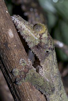 Leaf Foot Gecko