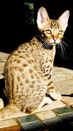 how to start breeding savannah cats