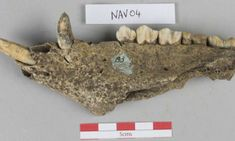 Animal Bones Reveal Huge Feasts at Ancient Capital of Ulster Drew Crowds From Across Iron Age Ireland Stonehenge, Belfast, Cardiff University, Archaeology News, Animal Bones, Iron Age, Archaeological Site, Animal Party, Cattle