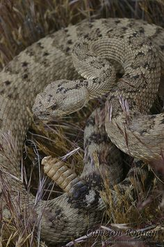 ˚Great Basin Rattlesnake