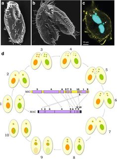 Oxytricha is a ciliated protist, with 16,000 chromosomes.  https://bmcbiol.biomedcentral.com/articles/10.1186/s12915-017-0391-5