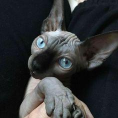 Animal Gato, Amor Animal, I Love Cats, Crazy Cats, Cute Cats, Beautiful Cats, Animals Beautiful, Cute Hairless Cat, Baby Animals