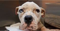 3/9/17 -Hardy was found on the side of a busy road living among rubble and trash. He is anemic, has a high burden of hookworms, his hemoglobin is very low so is in need of an emergency transfusion and has a fractured hip. On top of this, Hardy is positive for demodex mange and severely malnourished. At only