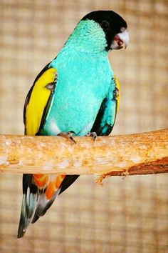 Parrocchetto ali gialle (sottospecie dissimilis) - Golden-shouldered Parrot - Psephotus chrysopterigius dissimilis