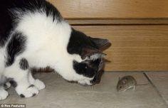 le chat regarde la souris manger dans sa gamelle 7   Le chat regarde la souris manger dans sa gamelle   souris repas photo image gamelle chat