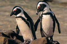 Hace 12 millones de años los pingüinos vivían en África