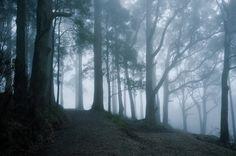 Dandenong Ranges National Park, Australia Mountain Ash trees and lush fern gullies nearMelbourne