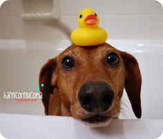 Listo para mi baño !!! FACEBOOK: Mi perro Salchicha me AMA https://www.facebook.com/pages/Mi-perro-Salchicha-me-AMA/425990280846978?ref=hl