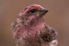 . Purple Finch #2 (Carpodacus purpureus)