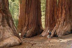 La secuoya, el árbol más alto del mundo