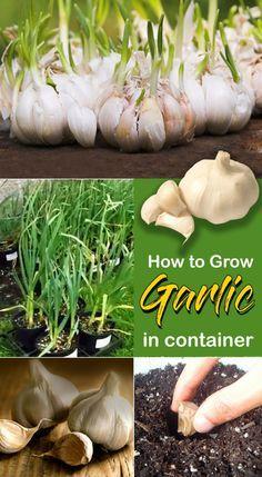 How to grow garlic in a pot, Growing Garlic plants, Garlic care, Garlic Problems. garlic has a very long growing season and needs regular watering. Growing Vegetables In Containers, Growing Veggies, Container Gardening Vegetables, Growing Herbs, Succulent Containers, Container Flowers, Container Plants, Regrow Vegetables, Planting Vegetables
