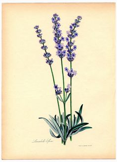 *The Graphics Fairy LLC*: Instant Art Printable - Superb Lavender Botanical Lavender Seeds, Lavender Flowers, Lavander, Lavender Syrup, Lavender Bouquet, Cream Flowers, Vintage Botanical Prints, Botanical Drawings, Images Vintage