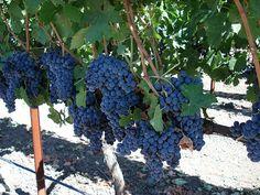 VG_grapes.jpg (500×375)
