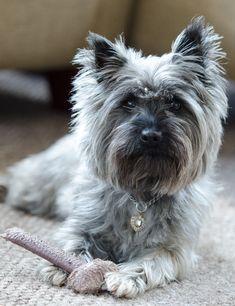 Daisy by Sean Lightfoote on 500px Cairn Terrier Cairn Terriers, Terrier Dogs, Daisy, Cute, Animals, Animales, Animaux, Margarita Flower, Kawaii