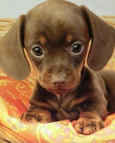 Little dachshund O M G!!! This is the cutest thing I've seen in a while!!