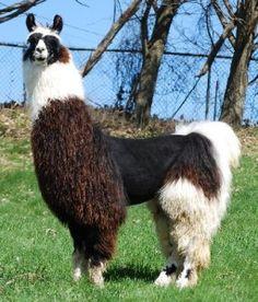 Image result for argentinian llama Llama Alpaca, Mundo Animal, Alpacas, Animal Paintings, Wild Animals, Rage, Puppy Love, Sheep, Goats