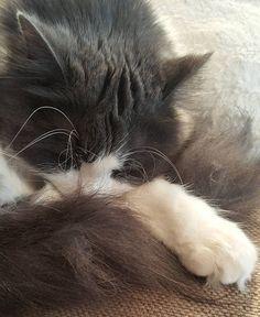 Sweet dreams  #hyvääyötä #goodnight #kauniitaunia #sweetdreams #kissa #cat #catlovers #catstagram #catsofinstagram #petlovers #pets #sleepingcat #cutenessoverload #thisisdarling #lifestyleblogger #nelkytplusblogit #åblogit