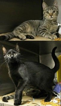 URGENT! Bubbly the tabby STILL NEEDS ADOPT RESCUE FOSTER!! (BLACK cat JUD was ADOPTED <3 ) Time's up at high-kill Greenville, SC shelter for BUBBLY ** According to Facebook: Greenville County Pet Rescue, he is running out of time. More information can be found on the Facebook thread.