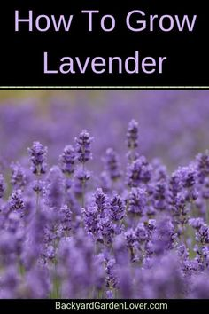 Want to learn how to grow lavender plants? Here you'll discover how to grow lavender from cuttings, from seed, in containers or in raised beds, how to create a lavender hedge, and much more. Then enjoy beautiful lavender flowers and their delicious smell all summer long. #lavender #flowers #gardening #landscaping #flowersforbees