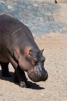 Hippo #wildlife #africa