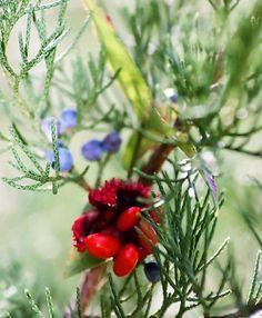 Cedar berry 1