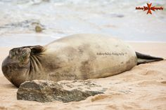 Hawaii Monk Seal photographed from Secret beach at the Ko Olina Resort, Waianae Coast, Oahu, Hawaii Hawaian Islands, Hawaiian Monk Seal, Oahu Photographers, Oahu Hawaii, Island Life, Holiday Foods, Bora Bora, Beach, Coast