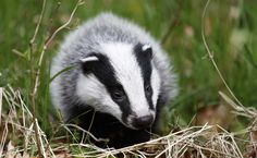 The U.K.'s Unjustifiable Plan to Kill Thousands of Its Beloved Badgers