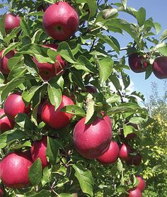 Apple, Crimson Crisp ™.Red blushed fruits are extremely crispy with great flavor.