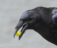 Raven found a treat at the compost pile    by Wendy Davis