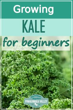Kale is one of the easiest vegetable plants for beginners to grow! Here are step by step instructions on how to grow it in your vegetable or herb garden, or even in pots or containers. Get the full easy instructions in this beginner gardener guide Aquaponics Diy, Hydroponic Gardening, Organic Gardening, Planting Vegetables, Growing Vegetables, Vegetable Gardening, Kale Growing, Regrow Vegetables, Gardening For Beginners