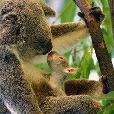 Joey kissing mom Koala.