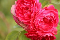 Morden Ruby Rose - Rosa 'Morden Ruby' - Parkland series rose with deep pink-red flowers. Heavy flush of blooms in early summer, recurring in smaller flushes until fall. Disease-resistant foliage; small orange rose hips in fall.  Cold hardy to zone 3  Mature height x width: 3′ x 3′ Blooms summer