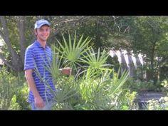 Plant a Saw Palmetto Palm Tree! http://www.tytyga.com/Saw-Palmetto-Palm-p/saw-palmetto-palm-tree.htm