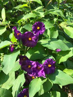 distictis riversii vine fast growing evergreen vine reaching 30 rh pinterest com