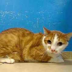 TO BE DESTROYED 9/22/12 Cats on death row NY*** My name is SAM. My Animal ID # is A0945611.  I am a neutered male yellow and white domestic sh mix. The shelter thinks I am about 7 YEARS old.  If you want to adopt or can foster and save his life, please act fast.