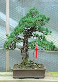 Japanese White Pine Bonsai Tree (Pinus parviflora)