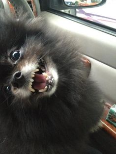 black pomeranian dog Looks just like our Zorro! Black Pomeranian, Pomeranian Puppy, Chihuahua, Cute Animal Pictures, Dog Pictures, Lap Dogs, Dogs And Puppies, Pet Sitter, Pom Dog