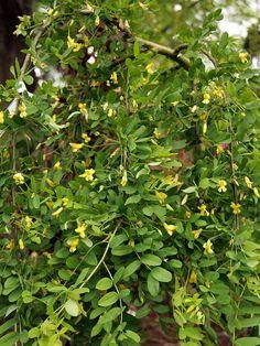 pyrus salicifolia 39 pendula 39 silberbirne. Black Bedroom Furniture Sets. Home Design Ideas